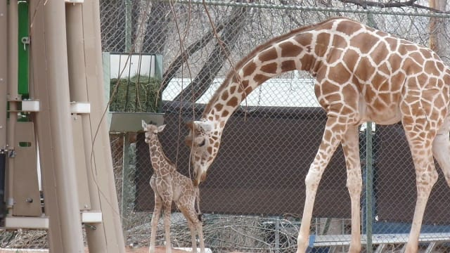 Born February 28, the little giraffe has kept zoo staff worried with several health problems since his birth, but he's finally been allowed out into his exhibit with his family!