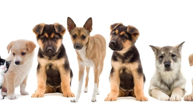 They may be equally cute, but do you know which puppy will grow up to be which type of dog? Find out how to tell the difference between eight commonly confused puppies here, then test your new knowledge out with our quiz!