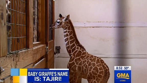 After millions watched and waited for April the giraffe to give birth live for over a month, she finally gave us a beautiful son. Now, get ready to find out what this handsome little giraffe's name is!