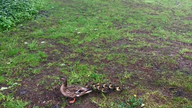 Officers initially couldn't understand why the duck was so frantic, but then they met her eight ducklings and suddenly all became clear. Find out more here!