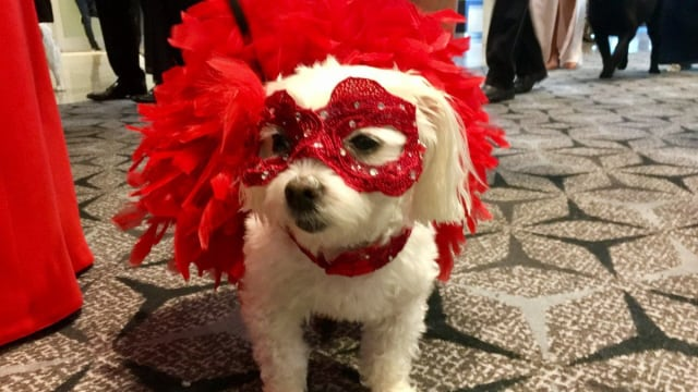 Every year at the Bark Ball in Washington, D.C., we get to see some truly decked out dogs for the benefit of the Humane Rescue Alliance. Watch our video of the best dress pups from this year and then click to reveal a list of the most magnificently garbed pooches from last year!