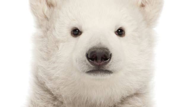 """Polar Bears are found in the frozen wilds of the Arctic, in Canada, Alaska (US), Greenland, Russia and Norway and are sadly classified as """"vulnerable""""."""