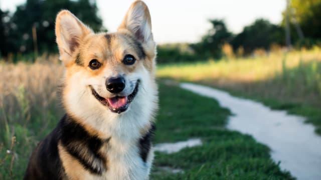Are you as playful as a Labrador or as courageous as a German Shepherd?