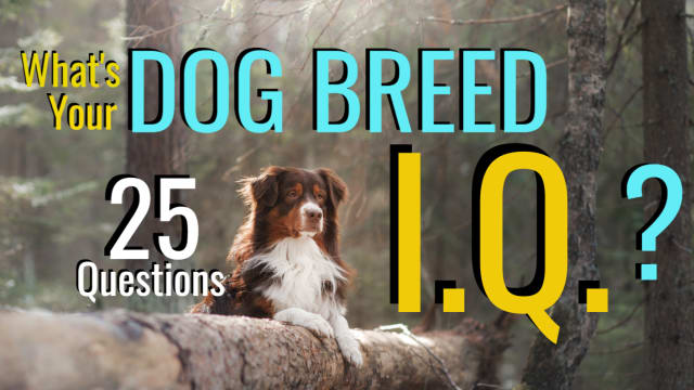Past the poodles and the pitties, can you name enough dog breeds to claim title as a Dog Breed Expert? Find out your Dog Breed I.Q. on a scale from 1 to 25 now!