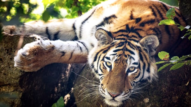 It isn't just a tiger's fur that's striped! These majestic, endangered beauties are hiding something just as amazing underneath that gorgeous coat!