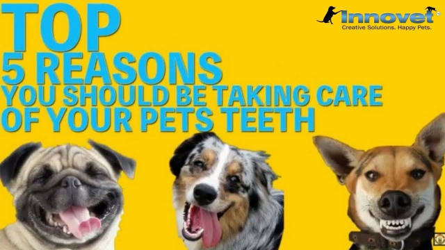 There is nothing worse than realizing that a beloved pet has bad breath.   There are many options available to help your pets but finding the one that works for you can be difficult. Visit here: https://www.innovetpet.com/collection...   Visit our website: https://www.innovetpet.com Subscribe our channel: https://www.youtube.com/channel/UC6Qk...  Here are 5 reasons CBD for pets may be what you're looking for.  # Doggie Bad Breath # Gingivitis In Dogs # Dog Periodontitis # Dog Mouth Tumors # Dog Heart Disease # Dog Teeth # Pets Bad Breath # Take Care Of Your Pet's Teeth # Best Dog Teeth Cleaning Products # Brushing Pets Teeth   Following Us...   Twitter: https://twitter.com/innovetpet1 Facebook: https://www.facebook.com/InnovetPet/ Instagram: https://www.instagram.com/innovetpetp... Pinterest: https://www.pinterest.com/InnovetPet1/   TOP 5 Reasons To Take Care Of Your Pets Teeth - https://youtu.be/F6DrM4MwoyI