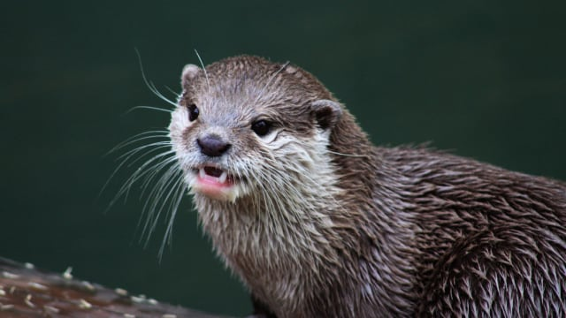 Otters are typically cute creatures that are afraid of humans. They're certainly not known for attacking people. So why did one Florida otter suddenly go crazy?