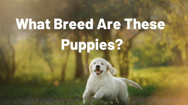 You'll never guess what obscure breeds these baby puppies are. Test your dog knowledge with this comprehensive quiz!