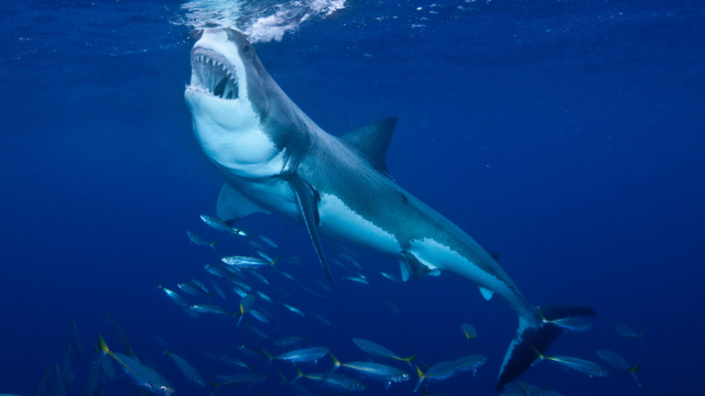 Take our Shark Week quiz to test your knowledge of the sea's fiercest finned predators.   Find out more in Sharks: Ancient Predators in a Modern Sea by Salvador Jorgensen. Kids can learn more in Sharks: Predators of the Sea by Anna Claybourne.