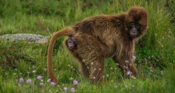 Ever seen a monkey Birth ?