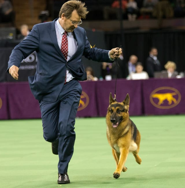The German shepherd standard talks about quality and nobility. When you recognize it, it hits you at home, and that's what it really is. She is just magnificent.