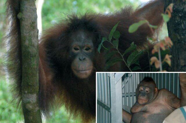 Женщина и орангутан секс фото 31-281