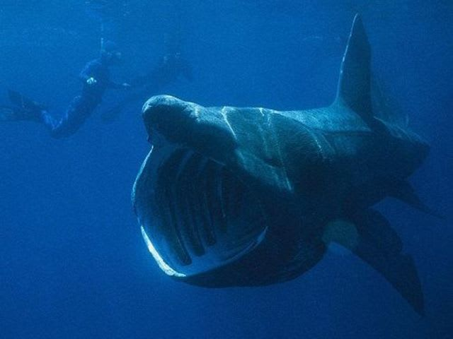 No! Unlike their carnivorous brethren, basking sharks are filter feeders. They prefer the taste of zooplankton and couldn't chomp down on you if they wanted to. A diver lucky enough to encounter one of these elegant beasts may entice its playful curiosity; they are known to be tolerant of nearby boats and people.