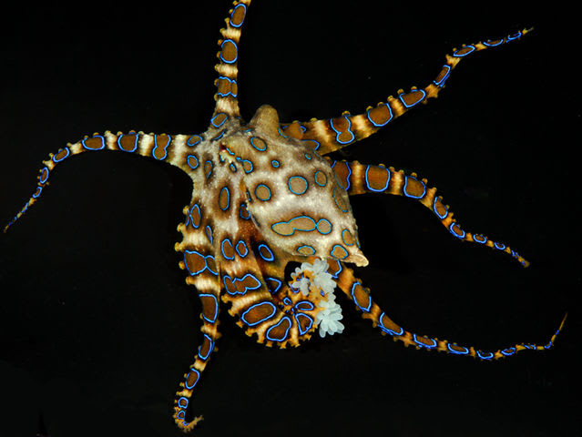 Yes! The tiny, blue-ringed octopus can pack a wallop. It is widely regarded as one of the world's most venomous animals.  If provoked or stepped on, it will bite. Blue-ringed octopus poison has no anti venom and can kill an adult human within minutes.