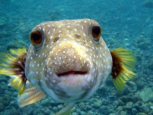 Can this puffer fish kill you?