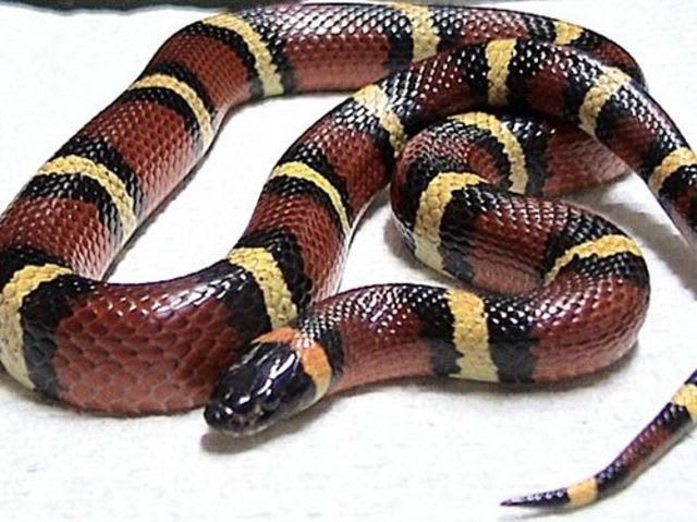 Can this milk snake kill you?