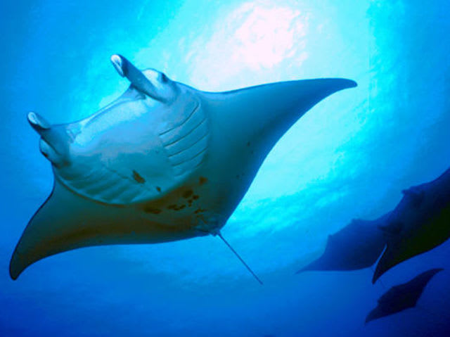 No! Manta rays are gentle giants. Like many other mammoth fish in the sea, they are filter feeders that eat the smallest of prey. Unlike stingrays, manta rays don't have a stinger, so divers have nothing to fear.