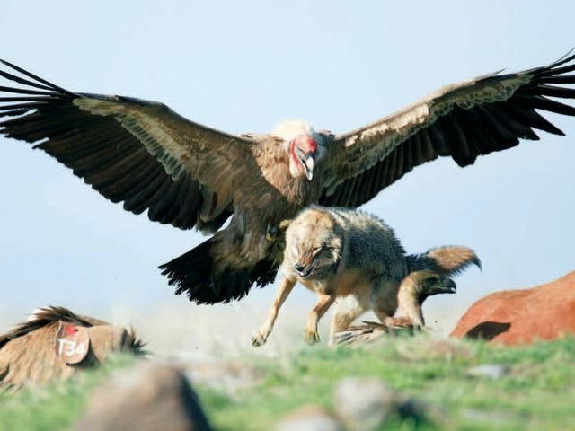 Can this vulture kill you?