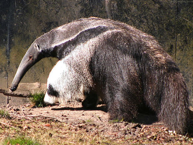 Can this giant anteater kill you?