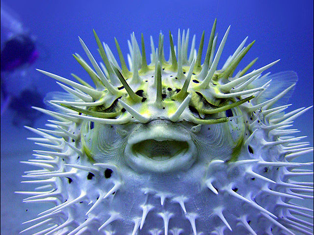Yes! The puffer fish is the second most poisonous vertebrate on the planet. The poison of a puffer fish, which has no antidote, kills by paralyzing the diaphragm, causing suffocation.