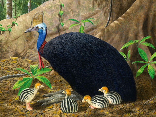 Can this cassowary kill you?