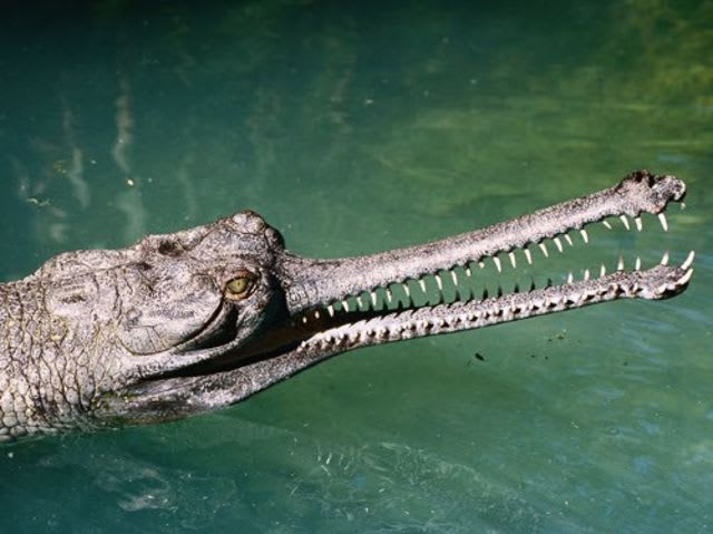 Can this gharial kill you?