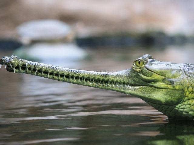 No! the gharial's thin jaws are fragile and incapable of consuming a large animal. Better adapted for hunting small fish, frogs and insects, gharials prefer to avoid people entirely. Of course, you wouldn't want to place your finger inside its mouth, but aside from complete carelessness, these giant reptiles are totally harmless.
