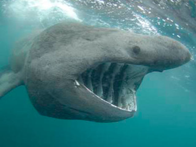 Can this basking shark kill you?