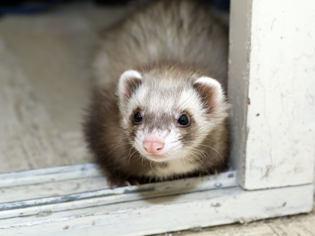 It's everyone's favorite fluff snake, the ferret!