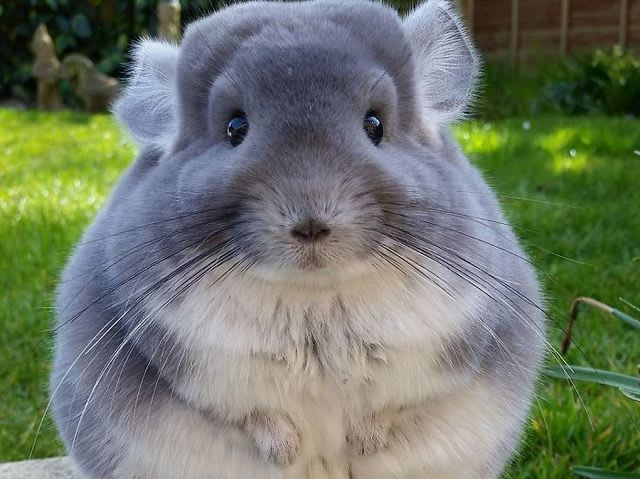 It's the lesser known but much beloved rodent, the chinchilla!