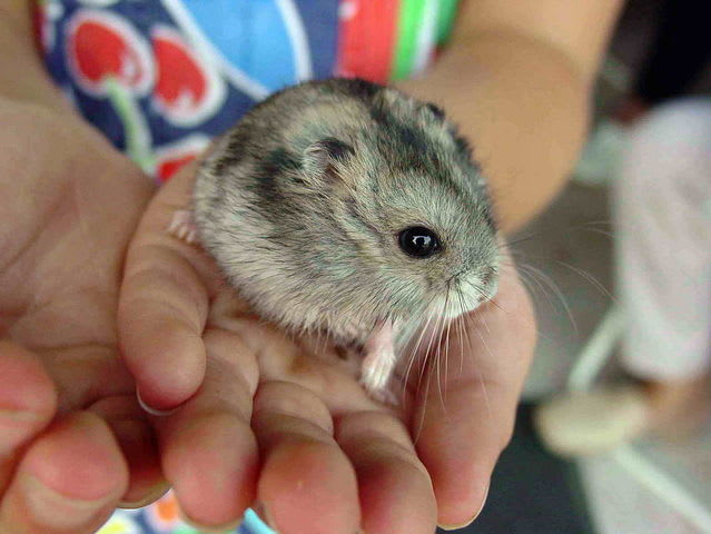 It's the tiny rodent that's all cheek and virtually nothing else, the hamster!