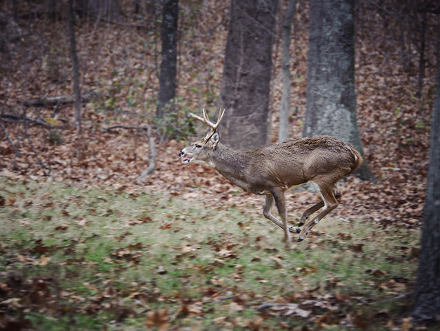How fast can a mature buck run?