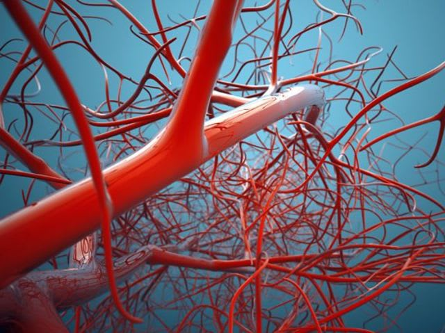 The blood vessels in the human body would stretch 60,000 miles if laid out end to end.