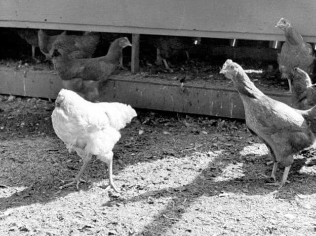 In 1945, a Colorado farmer beheaded a chicken but missed its jugular vein, and a large part of its brain. He kept it alive by dumping food down its open esophagus and named it Miracle Mike.