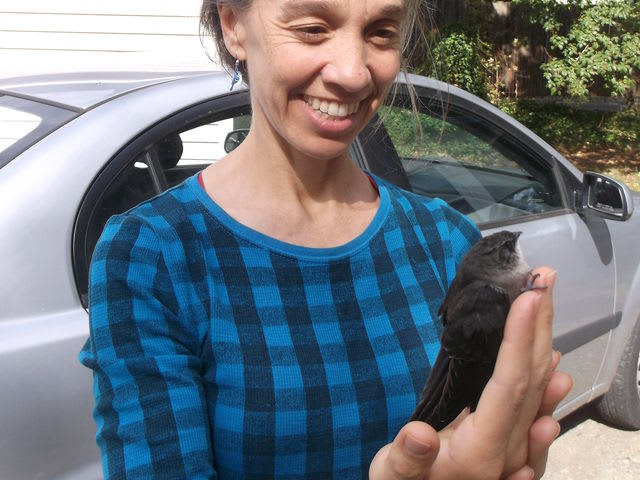 "This is a Chimney Swift that I rescued after it collided with a building window in downtown Winston-Salem. This bird was taken to Wildlife Rehab, Inc., where it was cared for and released successfully in time for fall migration 2014. ~ Wendy ""Big Bird"" Hawkins (:>"