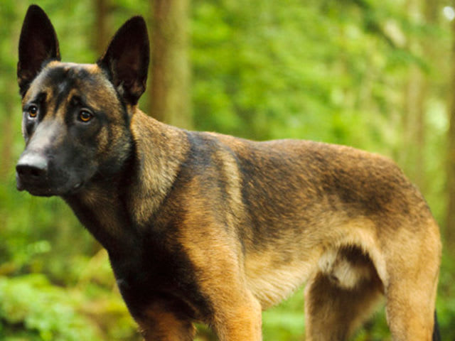 Find the Belgian Malinois in this group of German Shepherds!