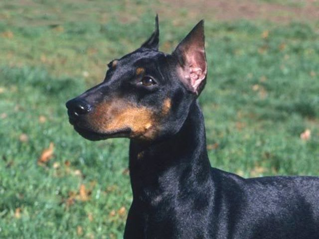 Find the Manchester Terrier in this group of Miniature Pinschers!