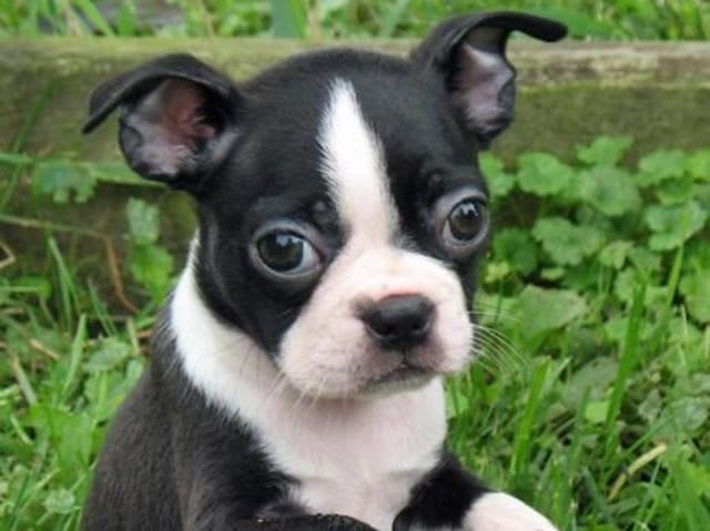 There's the Boston Terrier!