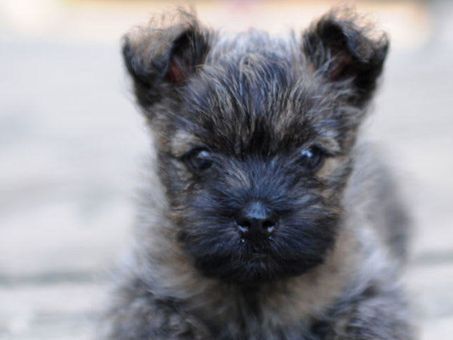There's the Cairn Terrier!