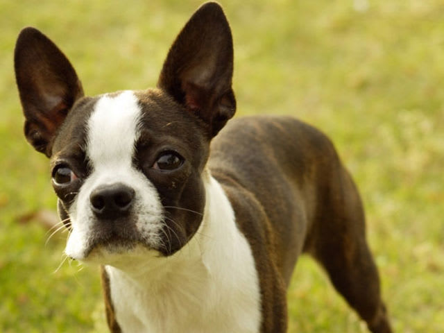 Find the Boston Terrier in this group of French Bulldogs!