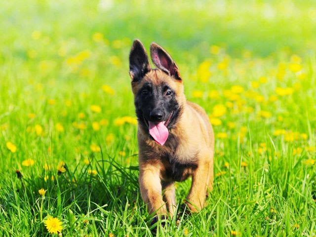 There's the Malinois!
