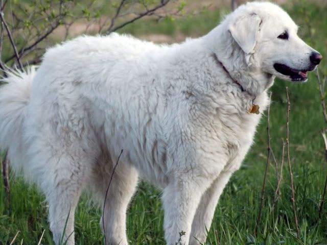Find the Kuvasz in this group of Great Pyrenees!