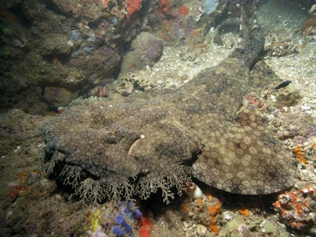 This is a tasseled wobbegong!