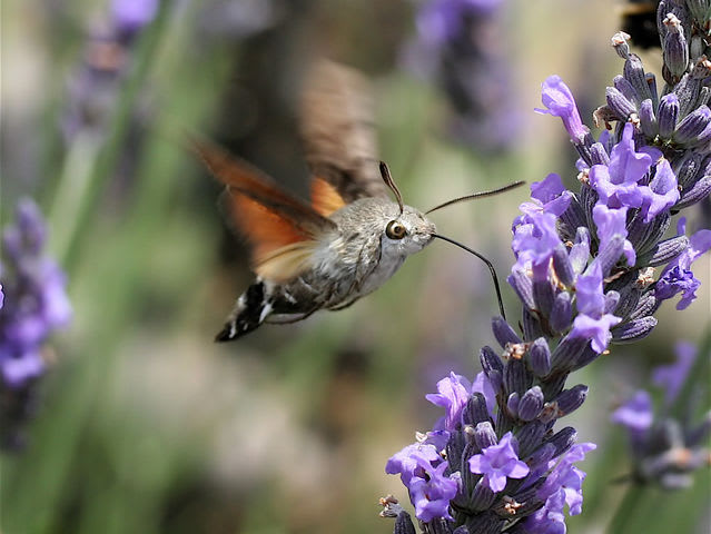 This is a hummingbird hawk-moth!