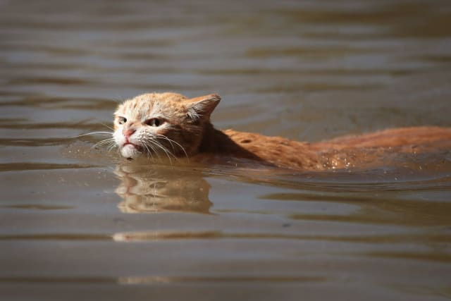 This cat is forced to swim for safety in the murky flood waters and is none too pleased about it.