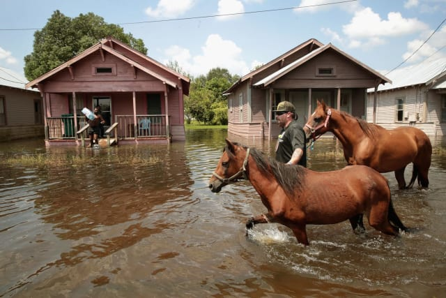 These two horses are led out of the flood and onward to safety.