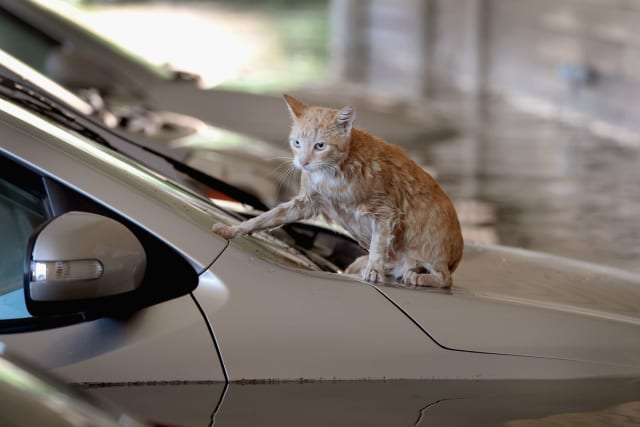 This soaking cat finally finds a solid place to rest on the hood of a car.