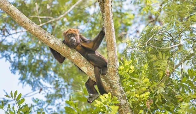 Macacos adoecem e morrem de febre amarela antes dos seres humanos e por isso indicam onde a doença está circulando | Foto: Leonardo Mercon / Shutterstock / CP