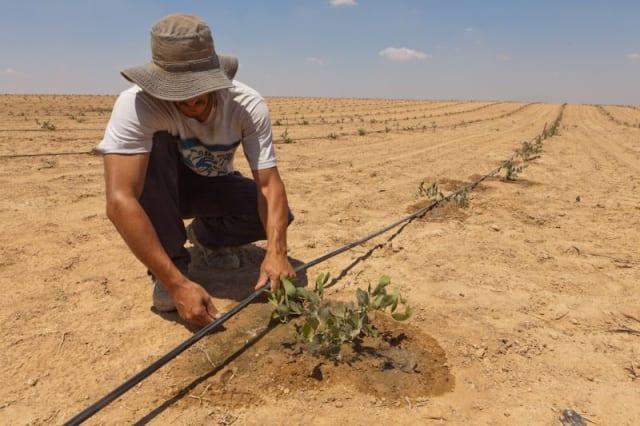 Drip irrigation.