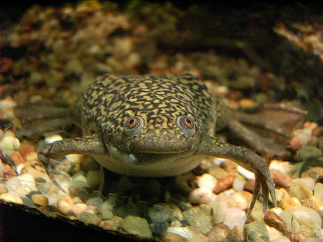 Rana Xenopus laevis, también conocida como rana africana de uñas.